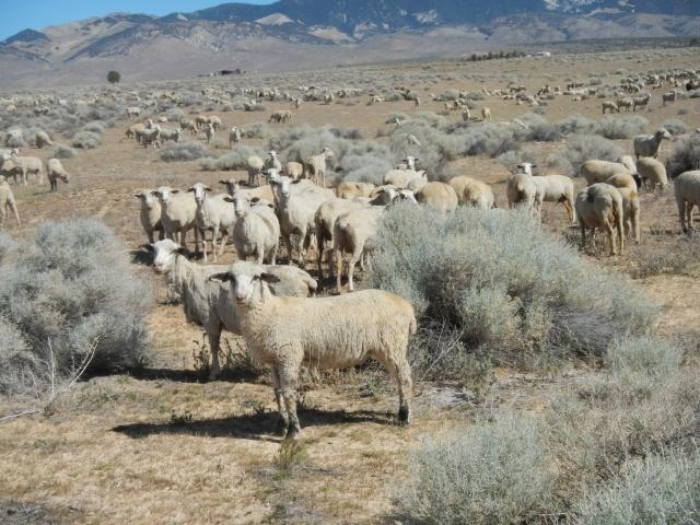 Random herd of sheep in the desert...