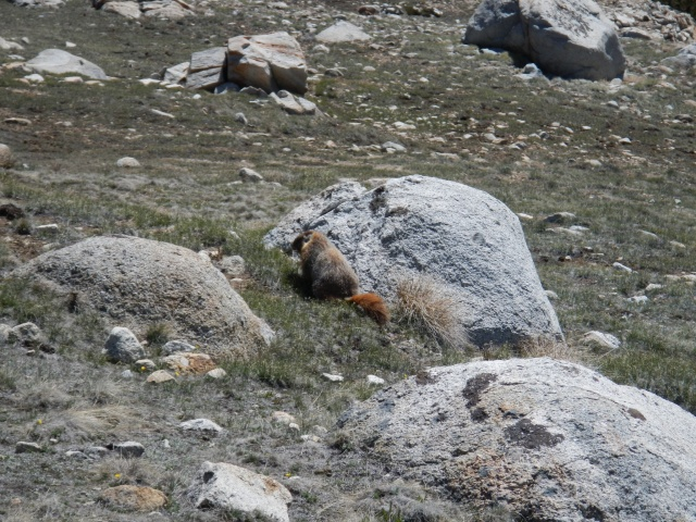 Marmots everywhere!