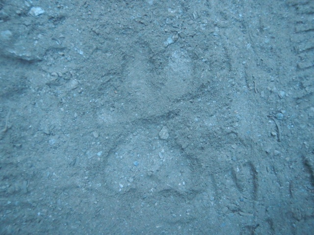 A cat track! Either a small cougar or a bobcat (we think)