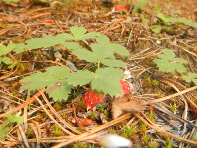 Wild strawberries...